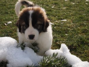 Tornjak Puppy playing