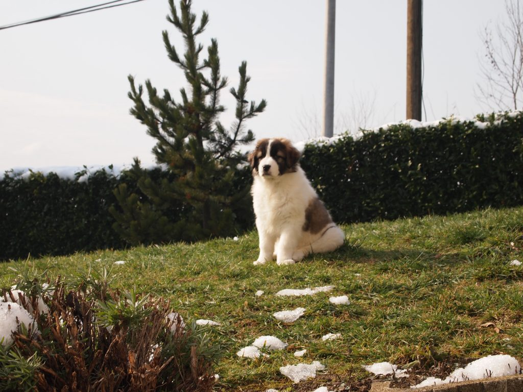 Tornjak Puppy on the hill