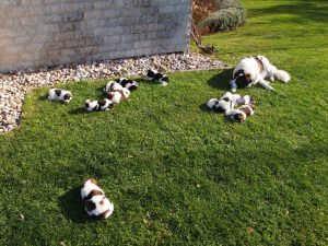 Garden Tornjak puppy party
