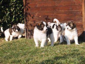 Tornjak puppies enjoying sunshine