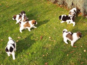 Tornjak puppies playing on sunshine