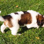 Magma - tornjak puppy in the sun