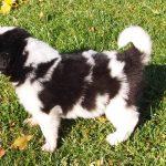 Magnum - tornjak puppy
