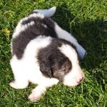 Maple - tornjak puppy