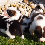 Magnum, Misty and Mason - tornjak puppies