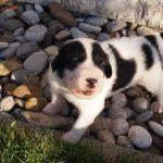 Milky - tornjak puppy