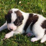 Modox tornjak puppy