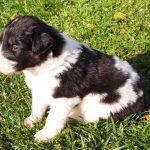Mayra tornjak puppy