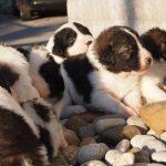 Tornjak puppies on rocks