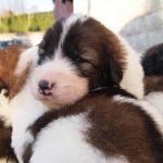 Mason - tornjak puppy