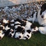 Tornjak puppies outside