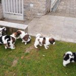 Collorfull tornjak puppies