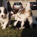 Tornjak puppies playing hard