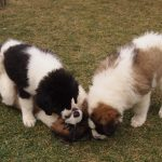 Puppies playing